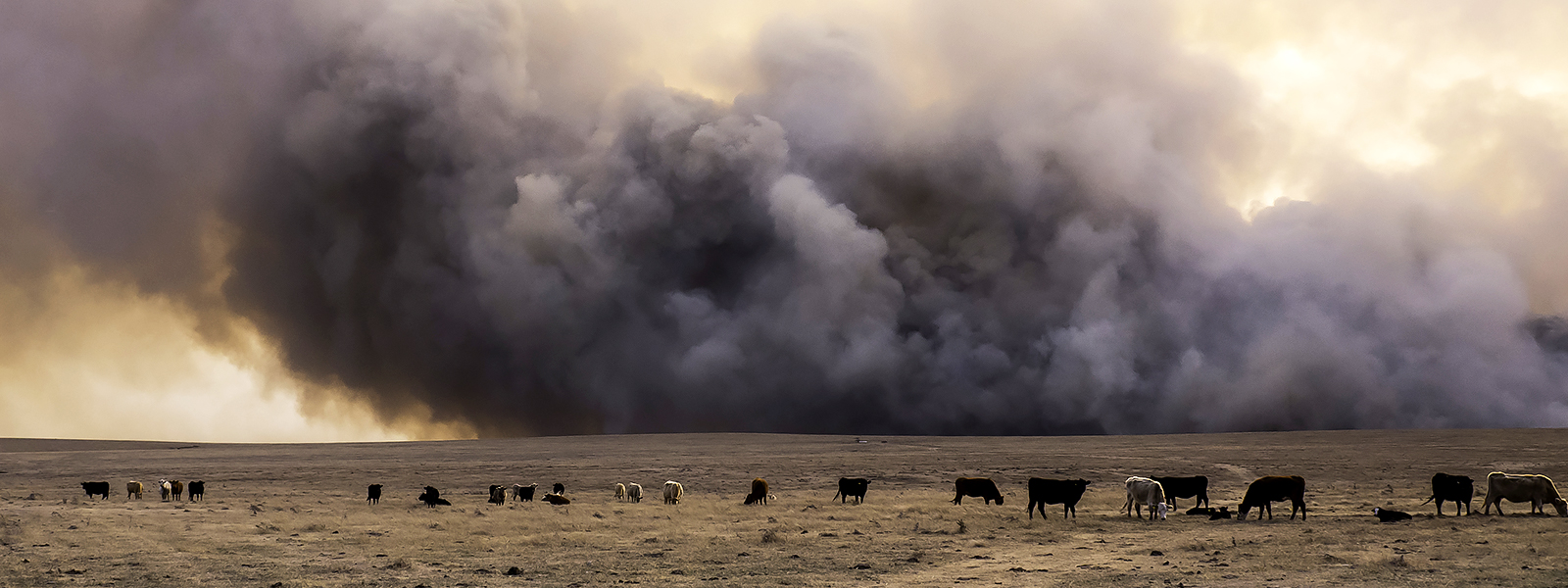 Cows in a field with a looming wildfire
